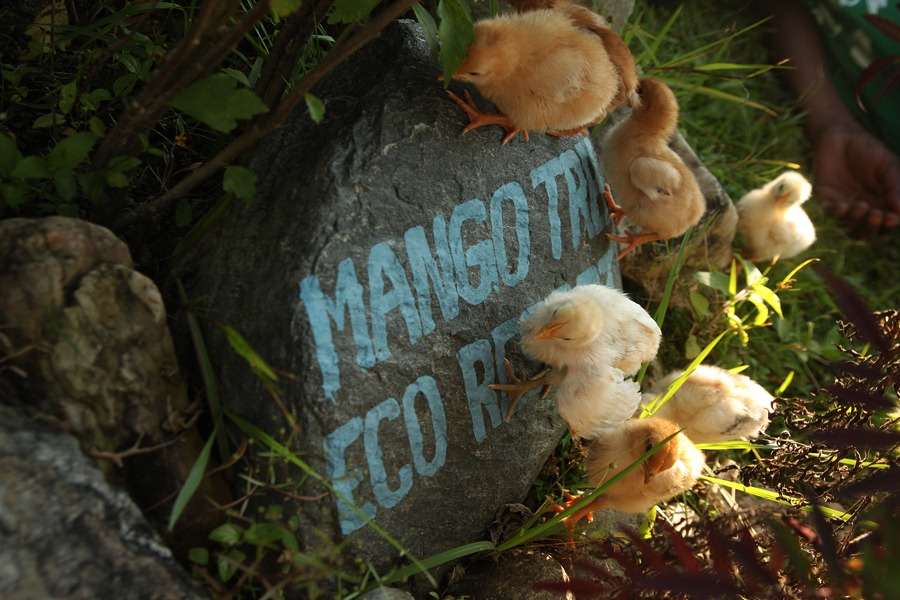 2014-10-25 Mango Tree 002 (res)